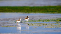 Black-necked Stilt, Youngsters