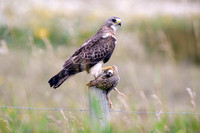Swainson's Hawk, Male with Hungarian Partridge