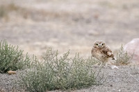 Burrowing Owls and Friends