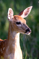 White tailed Deer, Fawn