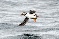 Atlantic Puffins and More